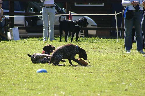 best trick with german shorthaired pointer girls