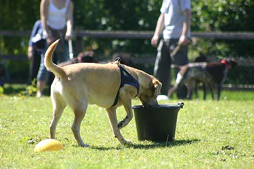 barley lab retrieves ball from water bucket