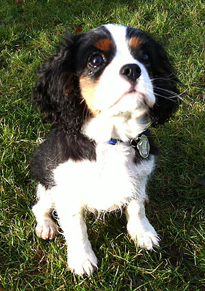 Toby Cavalier King Charles Spaniel