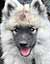 Tilly Keeshond
